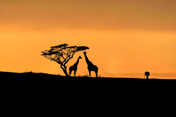 Tree, giraffes and male photographer silhouette on a hill at sunrise