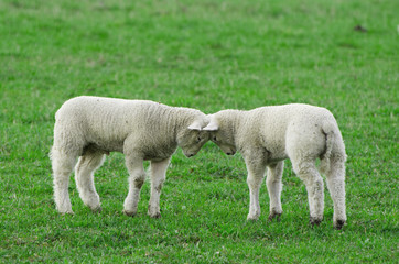 Two playful young lambs butting heads