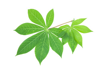 Beautiful Cassava leaf