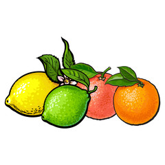 Whole shiny orange, grapefruit, lime and lemon with green leaves, hand drawn sketch style vector illustration on white background. Side view hand drawing of unpeeled orange, grapefruit, lemon and lime