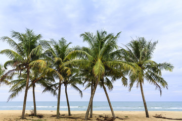 several coconut trees stand on the sandy beach with clouds and blue sky as the backdrop