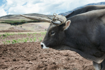 Close up view of an ox and a fresh plowed land in Urubamba Valley, Peru