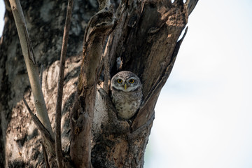 Spotted Owlet in nest