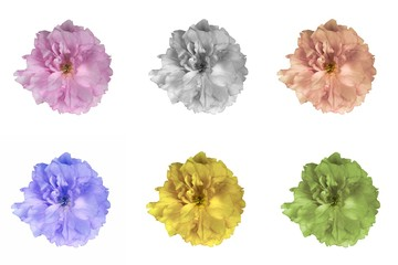 Japanese cherry flowers set in various colors. Design elements.