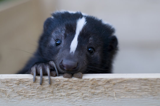 Cute skunk looking out