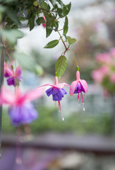 blossoming branch of a fuchsia