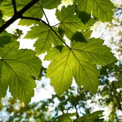 Blätter eines Ahorn im Frühling