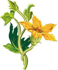 Bud of pumpkin plant, with an open flower.