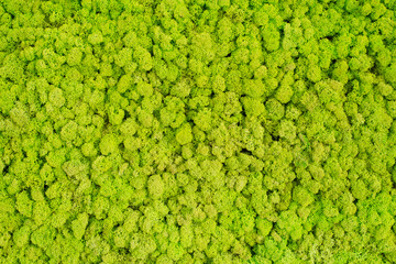 Green stabilized moss