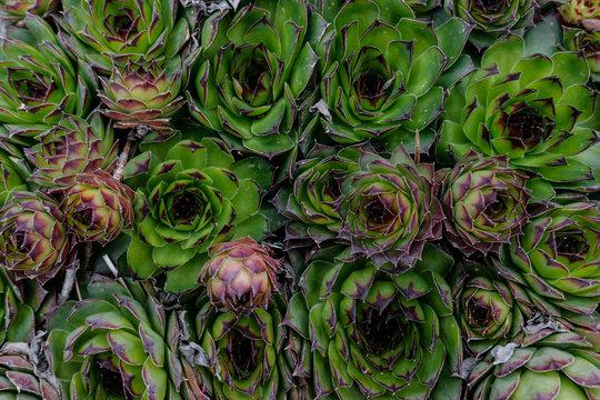 Succulents plants natural background. Top view