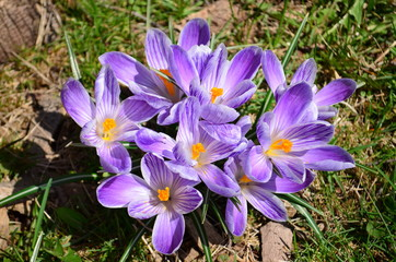 Purple striped dutch crocus flowers in early spring