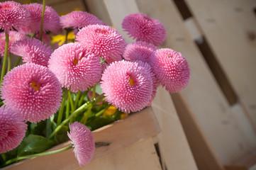 bellis perennis roses  dans un panier en bois