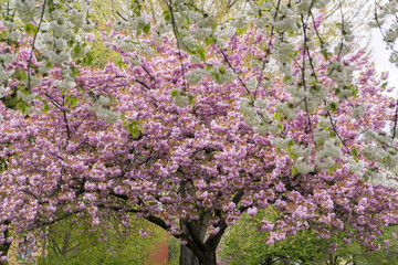 tree blossoms, red and white cherry in spring