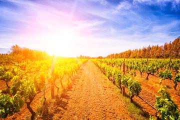 Widok winnica w południe Sardinia, Włochy w wiośnie przy zmierzchem w backlight