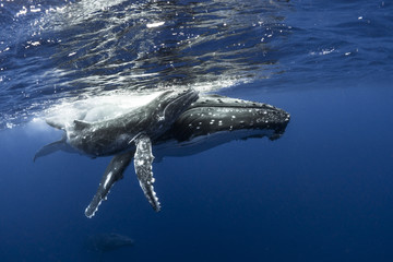 Humpback whale and calf swimming
