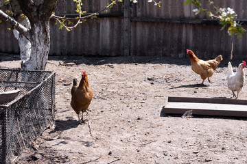 chickens in henhouse on stick. Coop with chickens in the village. Poultry yard