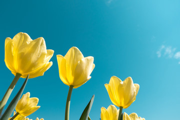 Yellow Tulips From Below