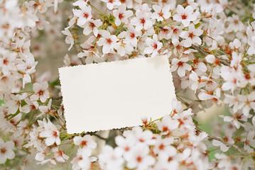 vintage photo back side with blossom cherry flower sakura