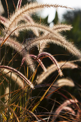 Back Lit Pampas Grass