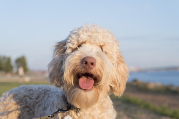 Very cute labradoodle dog smiling for the camera