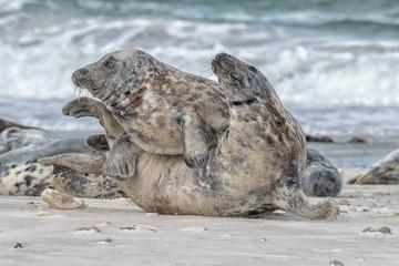great grey seal