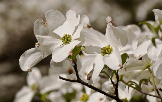 Several white dogwoods in the sun