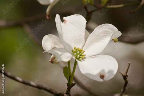 Single White Dogwood Flower Stock Photo And Royalty Free Images On
