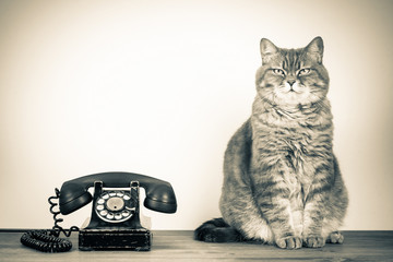Vintage old rotary telephone and British cat on table sepia photo