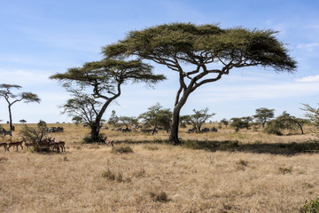African Landscape with Acacia Tree , Tanzania  Africa