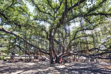 Banyan Tree - Lahaina Town - Island of Maui, Hawaii