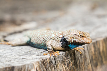 lizard basking on a tree stump