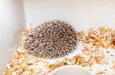 Brown Hedgehogs in Corner of Plastic Bucket [Atelerix frontalis]