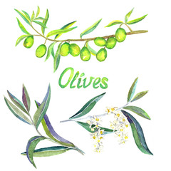 Green Olive branches with fruits, flowers and leaves, isolated hand painted watercolor illustration