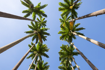 Avenue of tall royal palm trees soaring into blue sky