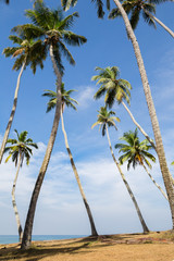 View of coconut palm tree grove at seaside.