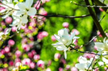 White magnolia flower on a background of green leaves, pink flowers and blue sky.