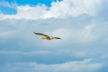 Goose flying in a blue cloudy sky in spring