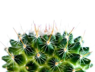 Photo sur Aluminium Cactus Mammillaria Cactus isolated on white background