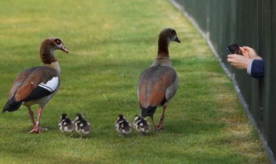 A person records images of a family of ducks on their phone through railings in Hyde Park in London, Britain