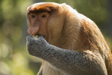 Proboscis monkey looking away while eating food