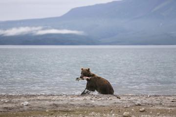 Kamchatka brown bear with salmon in mouth at lakeshore, Kurile Lake, Kamchatka Peninsula, Russia