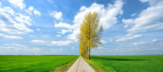 Wall Mural - Landschaft im Frühling, Pappeln am Feldweg durch grüne Felder