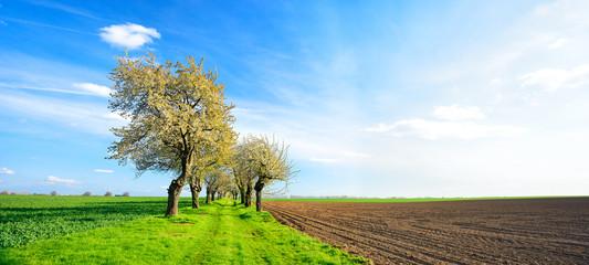 Wall Mural - Landschaft im Frühling, Kirschbäume in voller Blüte, Feldweg durch grüne Felder
