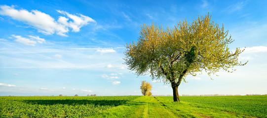 Wall Mural - Landschaft im Frühling, Großer Kirschbaum in voller Blüte, Feldweg durch grüne Felder