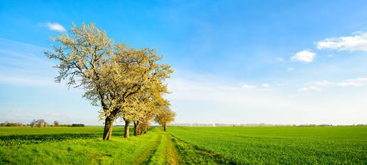 Wall Mural - Landschaft im Frühling, Kirschbäume in voller Blüte, Feldweg durch grüne Felder, Abendlicht