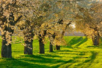 Wall Mural - Blühende Kirschbäume am Feldweg im warmen Abendlicht