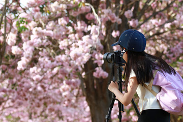 A cute camera girl take a photo pink flower or  , tourist take a photo Pink trumpet tree during  her trip