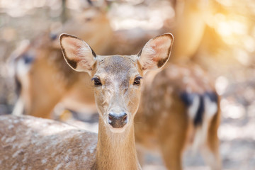close up young sika deer or Spotted deer or Japanese deer (Cervus nippon) in natural