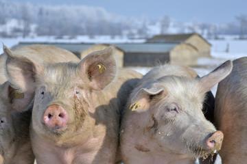 domestig pigs on range land in winter