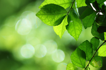 Nature  green of  leaf background with selective focus